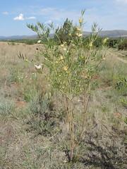 Gomphocarpus fruticosus_MS_19252554-29581230