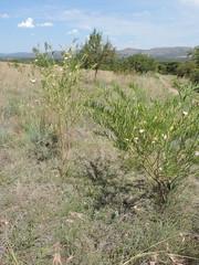 Gomphocarpus fruticosus_MS_19252554-29581229