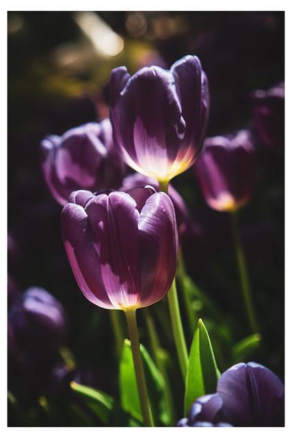 Purple Reign - Bellagio Gardens - Las Vegas NV_Web 1-Scaled-Q