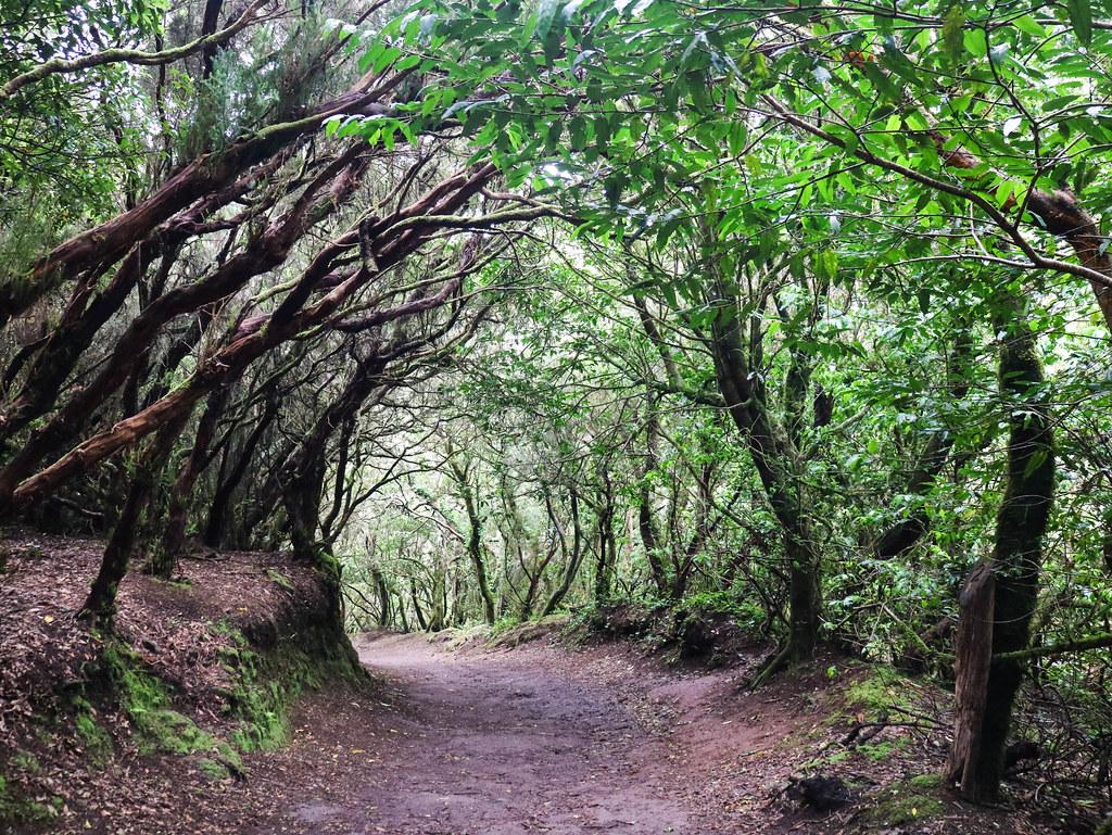 Camino por un bosque de laurisilva