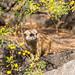 Meerkat Framed