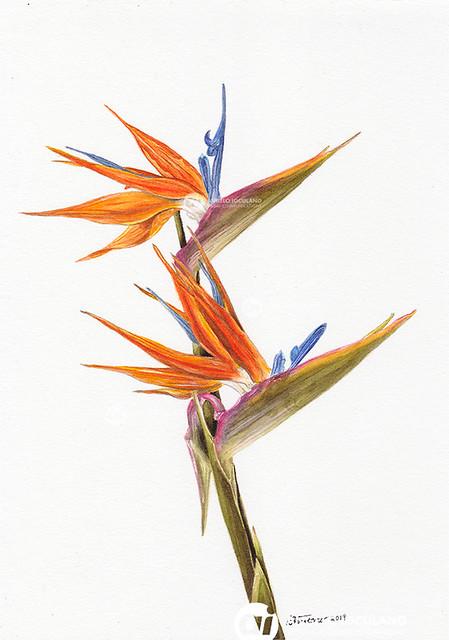 Angelo Ioculano: Bird of paradise 2019