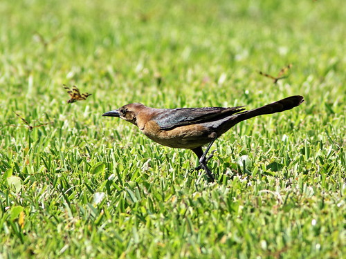 Boat-tailed Grackle female and dragonflies 20190420