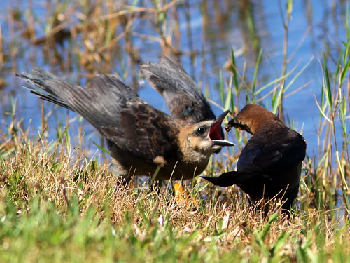 Boat-tailed Grackle female and dragonflies 5-20190420