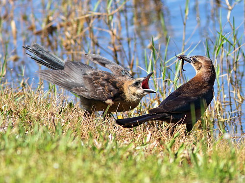 Boat-tailed Grackle female and dragonflies 4-20190420