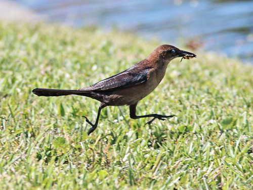 Boat-tailed Grackle female and dragonflies 3-20190420