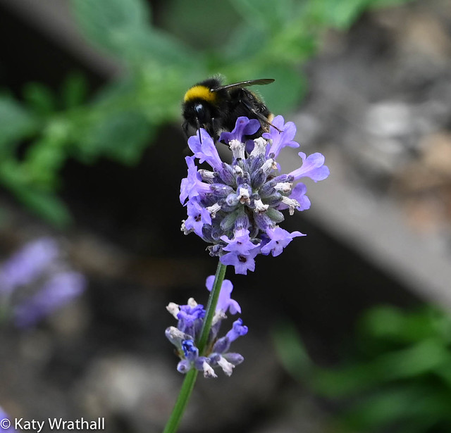 Bumblebee loves lavender