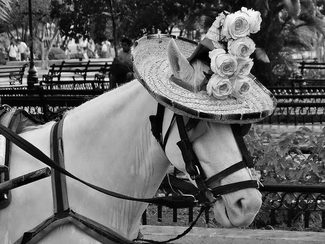 MEXICO, Yucatán, Merida, Horse with trendy hat,   19069/11729