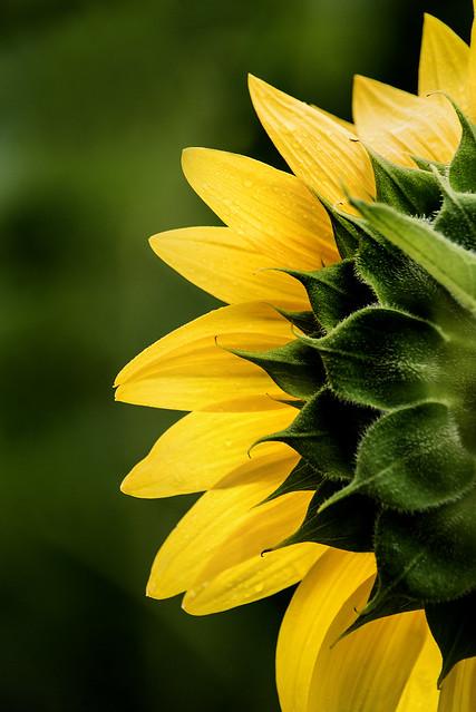 Sunflower Back 3-0 F LR 7-7-19 J016