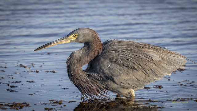 220A3645 Ct. possible Blue x Tricolored Heron