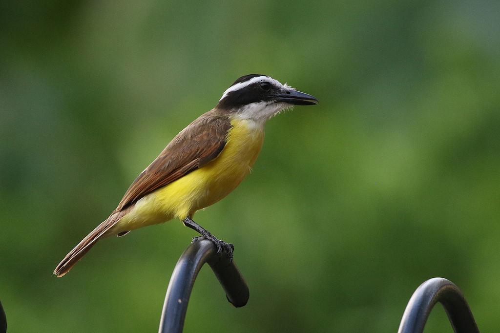 Great Kiskadee - Pitangus sulphuratus - Aguirre, Puntarenas, Costa Rica - June 16, 2019