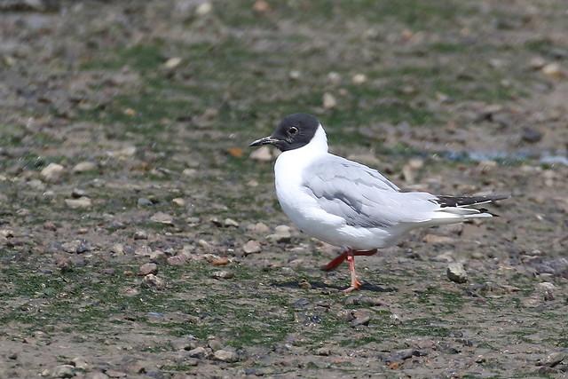 Bonaparte's Gull - Oare marshes IMG_9999_222