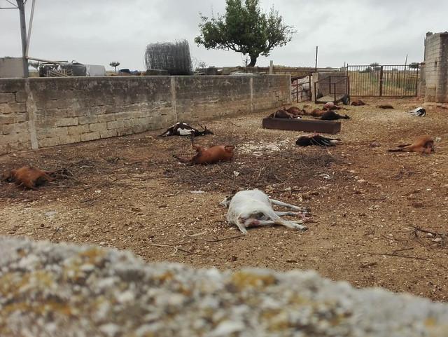 capre uccise dai lupi