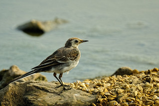 Juvenile Grey Wagtail | by photogramps