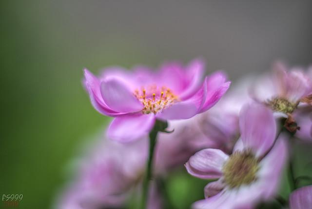 Pink Beauty