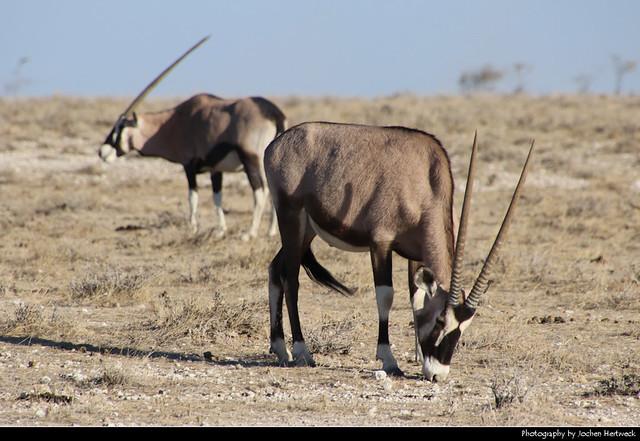 Gemsbok, Etosha NP, Namibia
