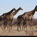 Giraffes, Etosha NP, Namibia