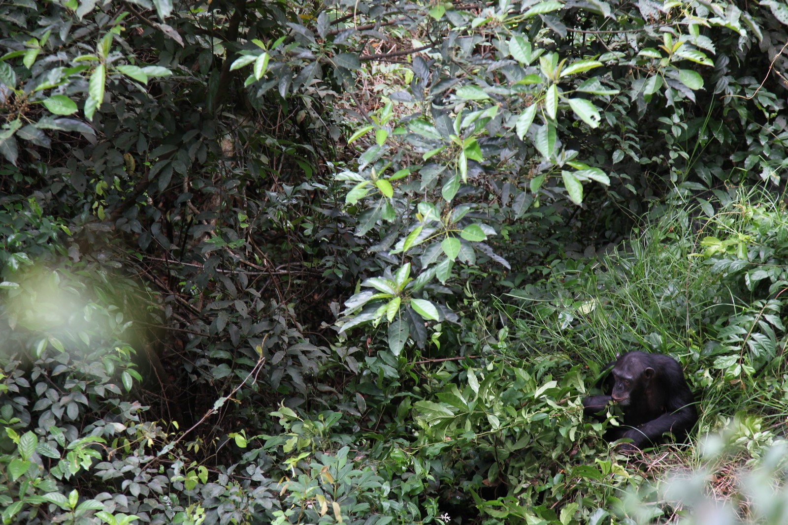 photo of chimpanzee in sierra leone