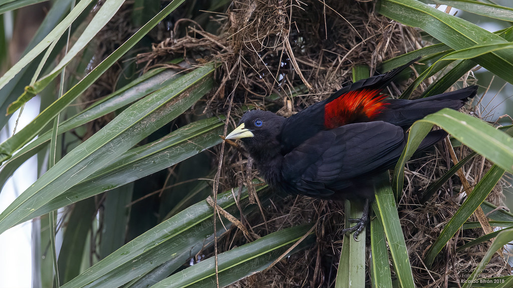 Red-rumped Cacique (Cacicus haemorrhous) Iguazu Falls, Parana, Brazil 2018