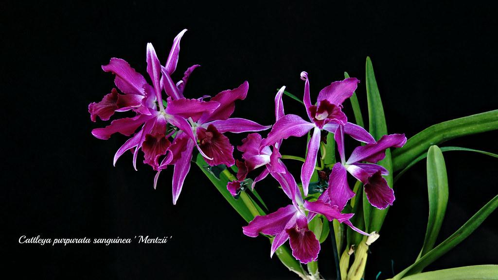 Cattleya (Laelia) purpurata var. sanguinea ' Mentzii '