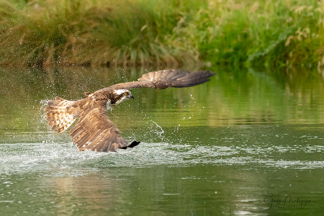 Another early start but we'll worth it, the light was perfect. Osprey fishing near Rutland water