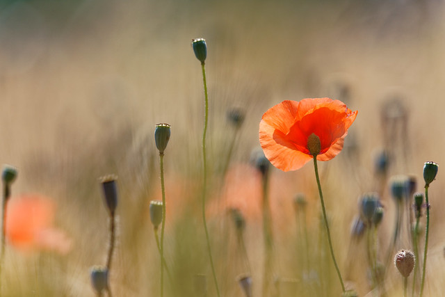 poppies CH3A9471