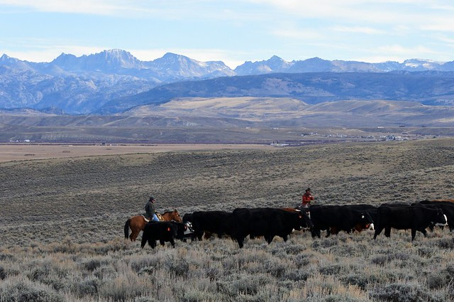 Wyoming farmers with cattle