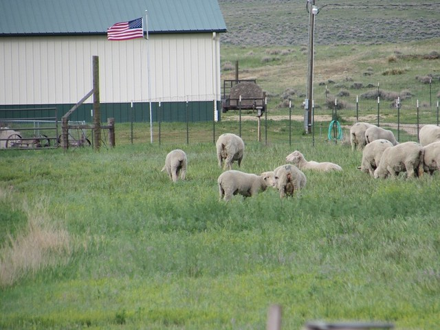 Sheep grazing near a ranch in Converse County, Wyoming