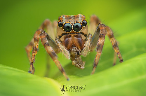 Female Salticid with relatively large anterior lateral eyes (ALEs)