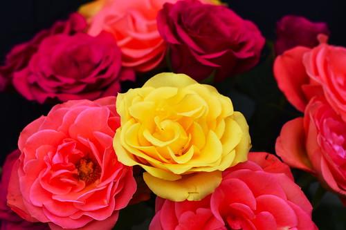 Roses-v4