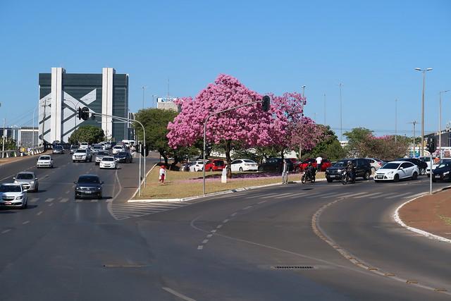 Ipê-roxo [Handroanthus impetiginosus] - Brasília