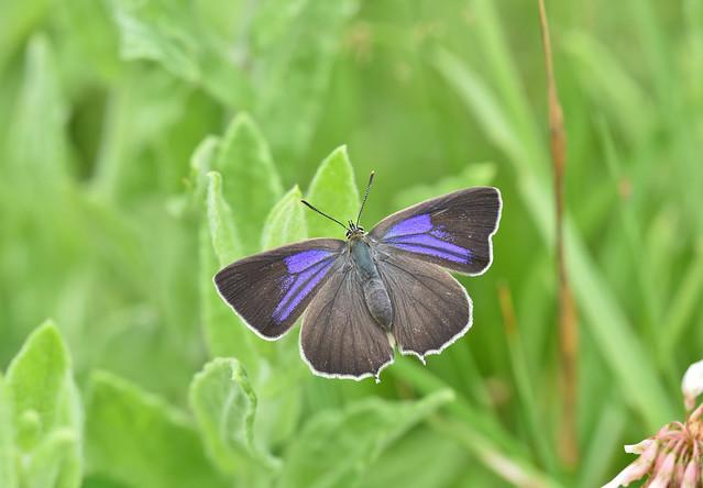 Purple Hairstreak, Neozephyrus quercus