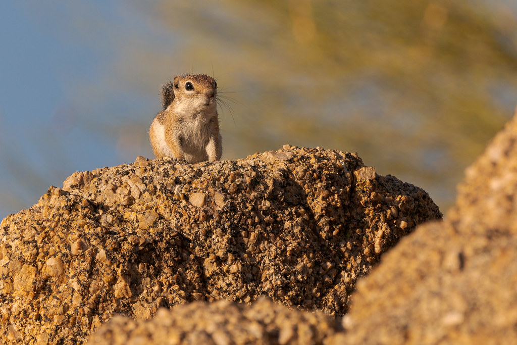 A Harris's antelope squirrel looks out from granite rocks on the connector trail between the Brown's Ranch trailhead and the Latigo Trail in McDowell Sonoran Preserve in Scottsdale, Arizona in July 2019