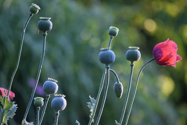 """The Coronation of Poppy...by Claudio Monteverdy..."