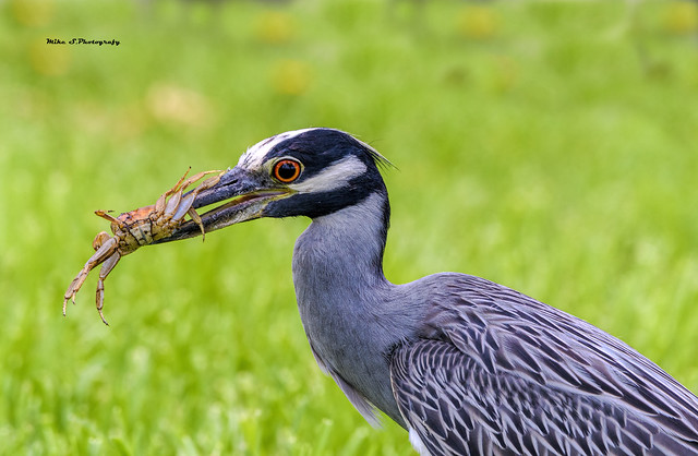 Yellow-crowned night heron with prey