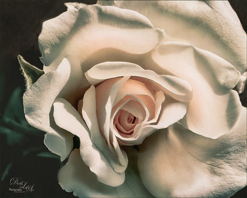 Image of a white rose from Harry P. Leu Gardens in Orlando, Florida