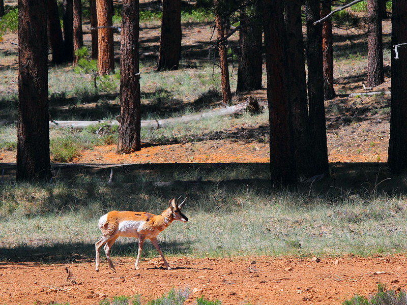 IMG_9994 Pronghorn, Bryce Canyon National Park