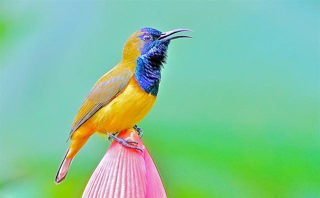 Sunbird: Male