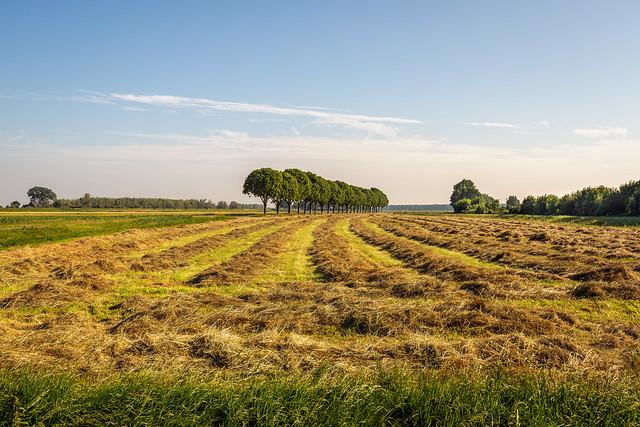 Hay in long rows