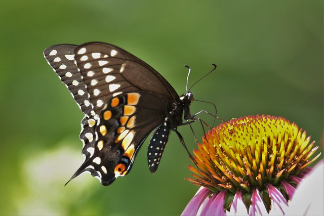 Our First Black Swallowtail of the Summer!