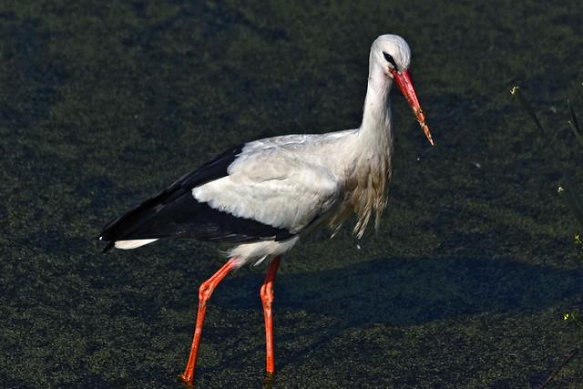 White stork (0366)