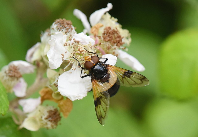 Hoverfly (Volucella-Pellucens)