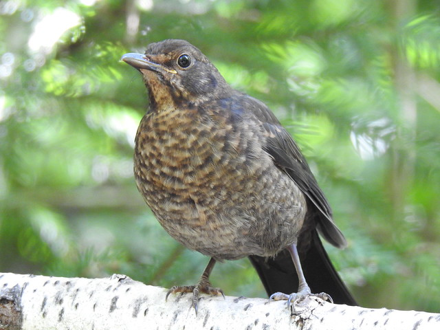 Blackbird (Turdus merula) juvenile.