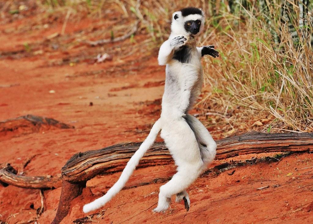 Leaping Lemur - Verreaux's Sifaka Hopping (Propithecus verreauxi)