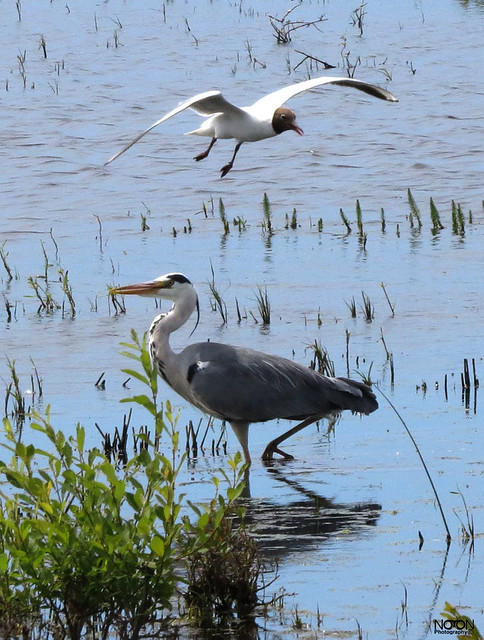Grey Heron, Ardea cinerea & Black Headed Gull, Chroicocephalus ridibundus