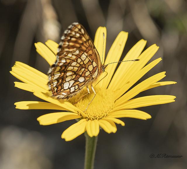 Bosparelmoervlinder / Melitaea athalia