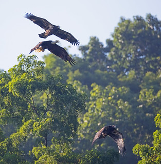 Young eagles fly after Dad when he comes in with a fish