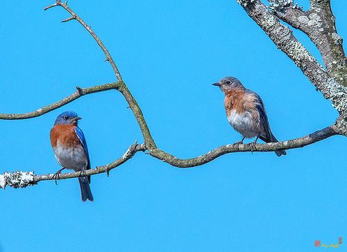 Eastern Bluebird Pair (Sialia sialis) (DSB0345)
