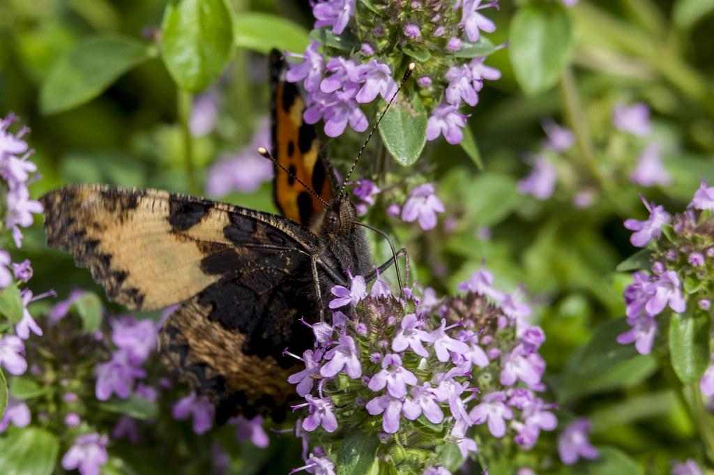 Бабочка на обеде.