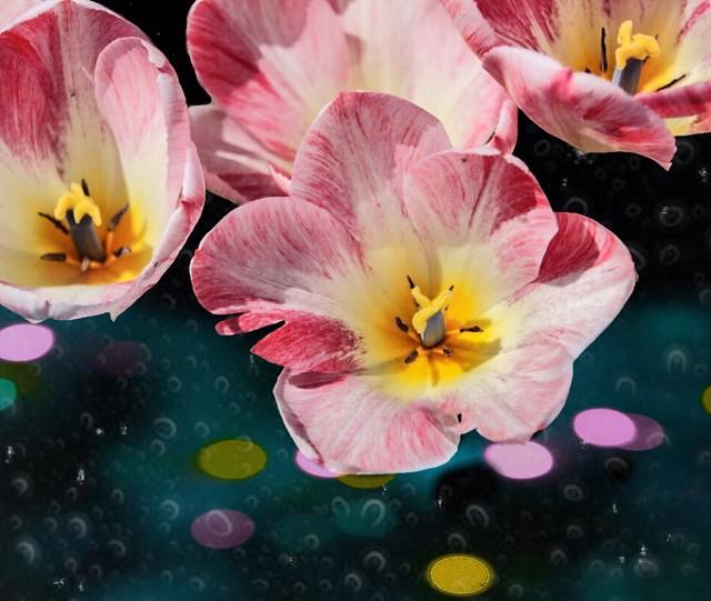 Toronto Ontario ~ Canada ~ Edwards Gardens ~ Botanical Garden ~ Pink  Tulips - Bokehs